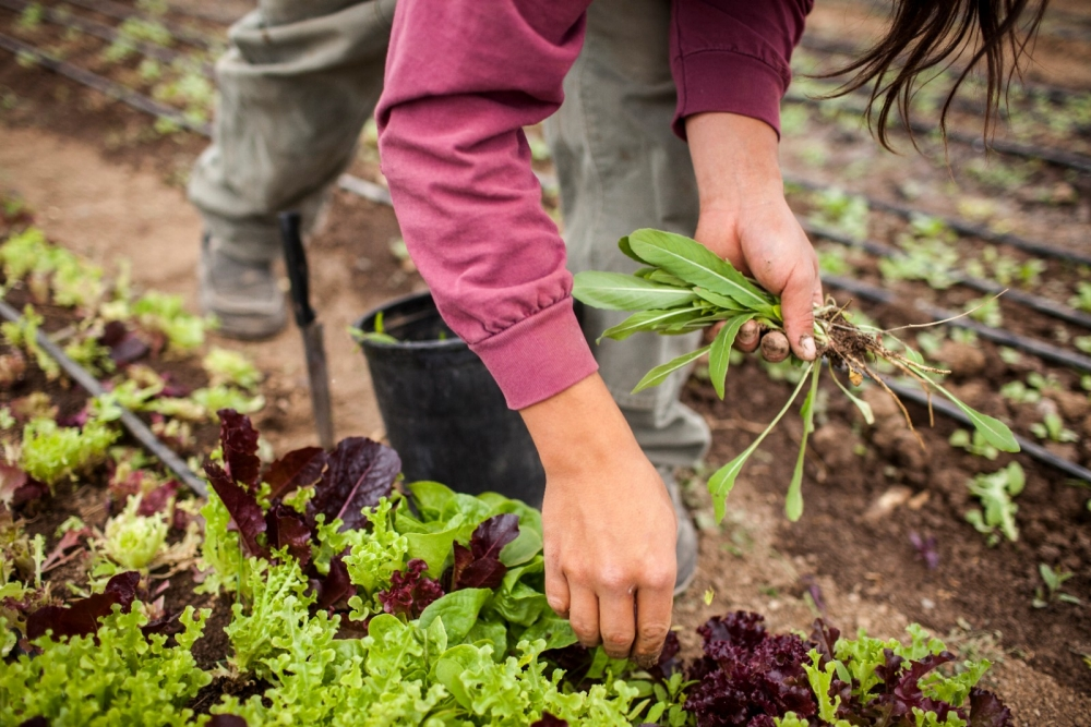 A woman harvests arugula from her farm.