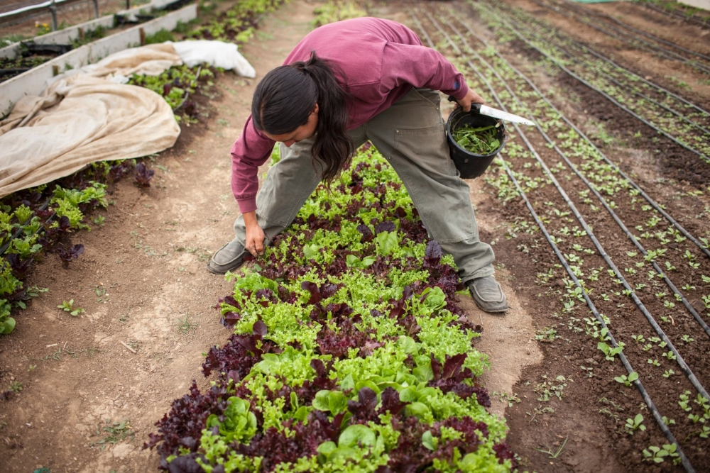 A farmer harvests lettuce.