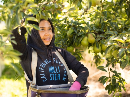 A girl picks pears in an orchard.